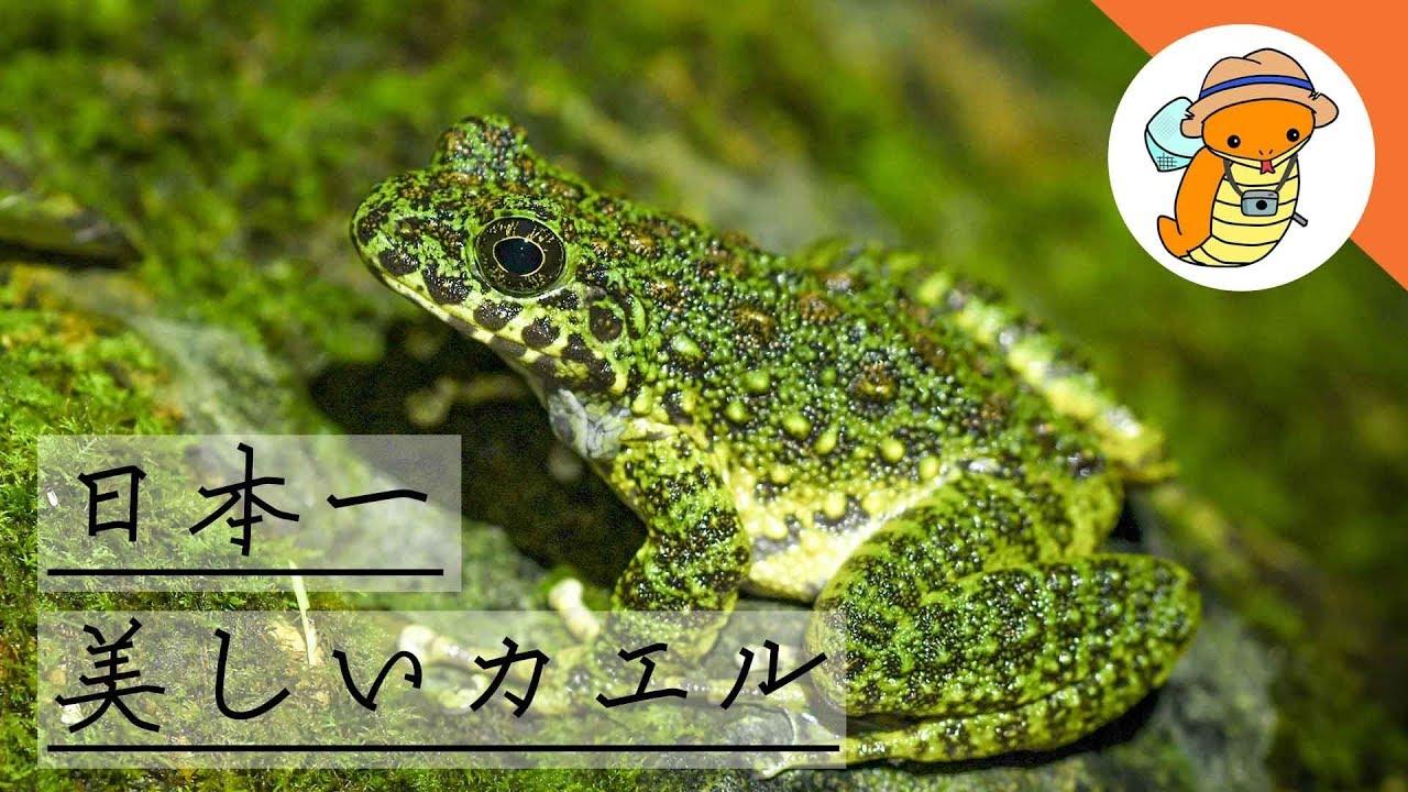 カエル好きによるアマミイシカワガエルの解説!苔と同化、見事!