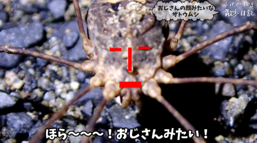 【奄美散歩日記】でかい黒い蟻とおじさんの顔みたいなザトウムシ