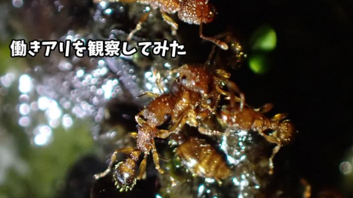 【奄美散歩日記】働きアリを観察してみた